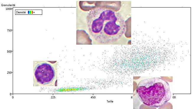 Taille et granularité des Leucocytes sanguins.