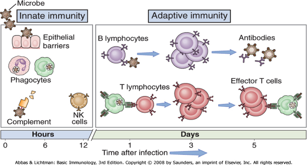 Réponse à médiation humorale et réponse à médiation cellulaire, les deux branches de l'immunité adaptative.