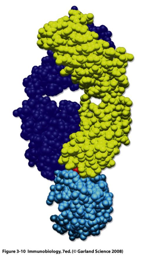 Les anticorps, molécules effectrices à l'origine de la spécificité de la réponse adaptative humorale.