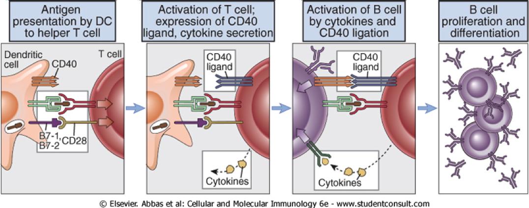 Coopération cellulaire au cours de l'activation d'un lymphocyte B.
