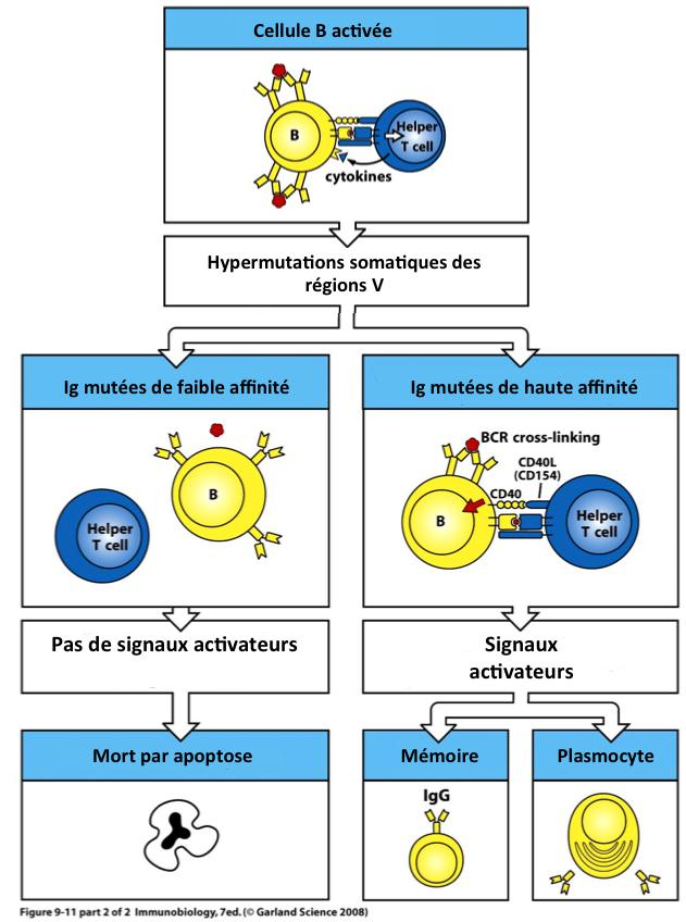 La maturation d'affinité : un processus de diversfication / sélection à l'échelle cellulaire.