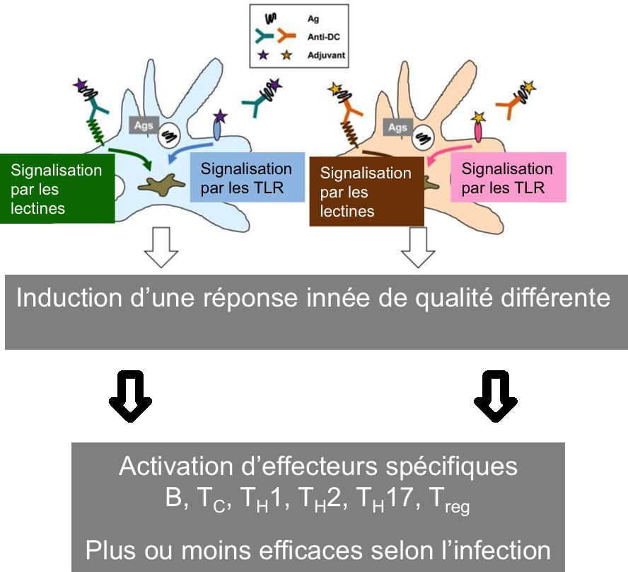 Vers l'identification des corrélats immunologiques de protection.