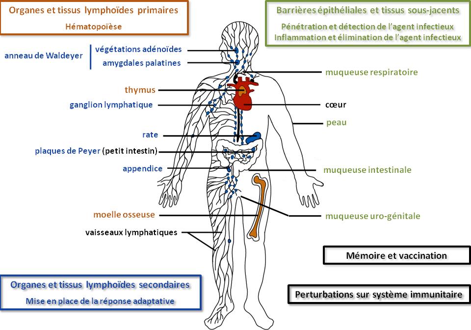 Les organes lymphoïdes.