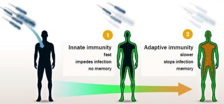 Le déroulement de la réponse immunitaire