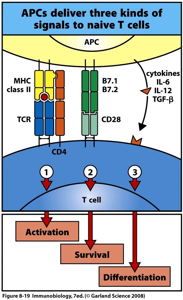 Les cellules présentatrices d'antigène et les lymphocytes