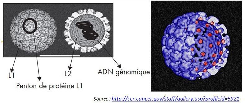 Organisation de la capside d'un virion de HPV-16, avec un arrachement révélant la protéine L2 (rouge) de la capside associée à la surface intérieure de la protéine L1 (bleu).