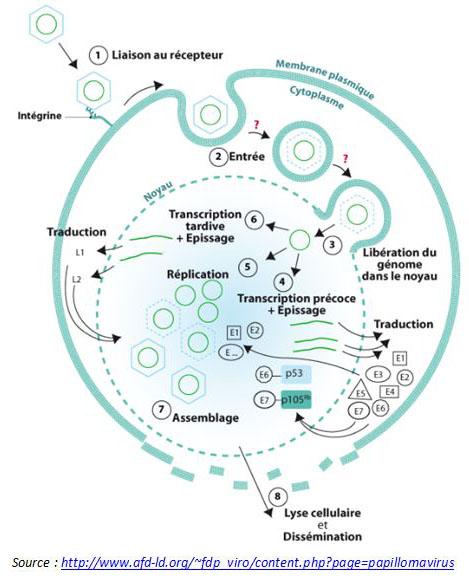 Les étapes essentielles du cycle viral, comme l'attachement, l'entrée, la décapsidation, ou encore l'assemblage et la sortie du virus.
