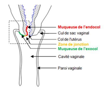 Localisation de l'endocol, l'exocol et de la zone de jonction.