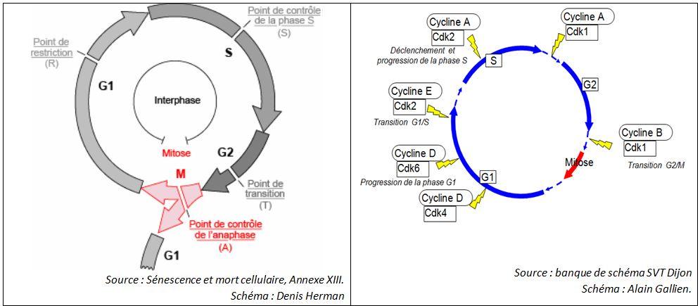 Cycle cellulaire et points de contrôles associés.