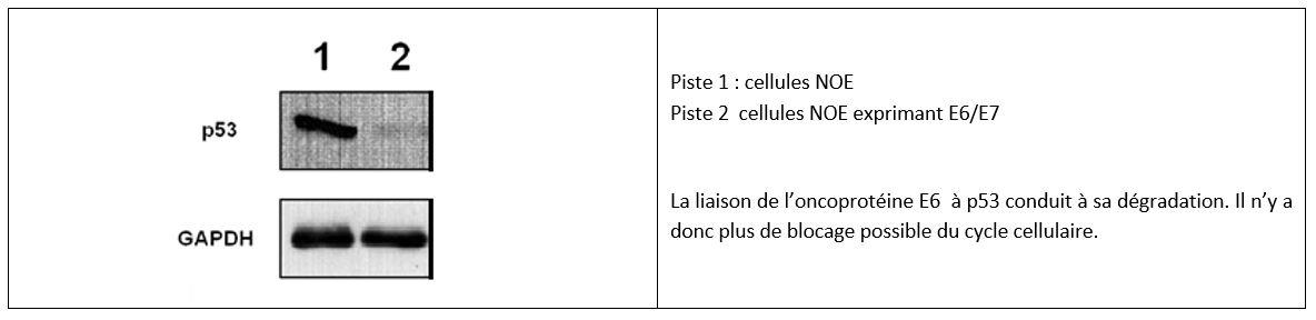 Expression de la protéine p53 (western blot) et d'une protéine témoin GAPDH dans les cellules NOE (cellules épithéliales humaines, épithélium buccal).