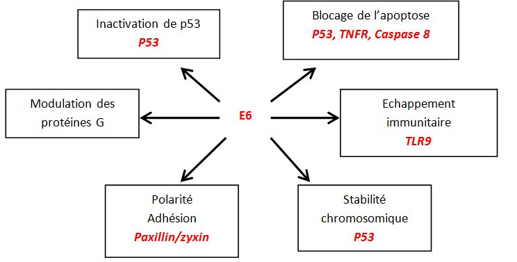 Activités de l'oncoprotéine E6.