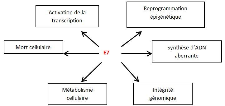 Activités de l'oncoprotéine E7.