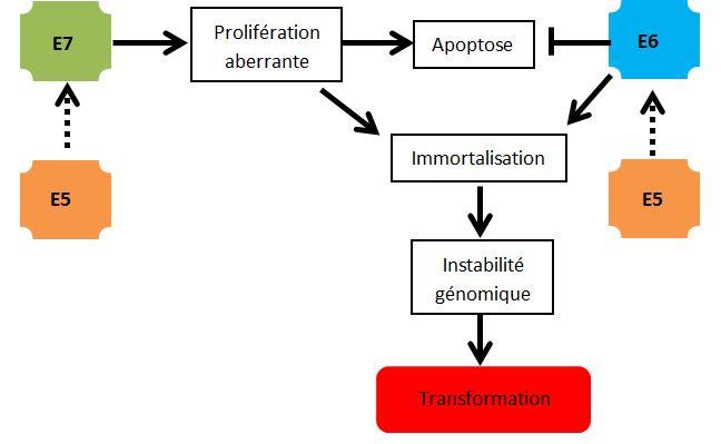 Mécanismes moléculaires par lesquels les oncoprotéines du papillomavirus coopèrent pour induire une carcinogénèse du col de l'utérus. .