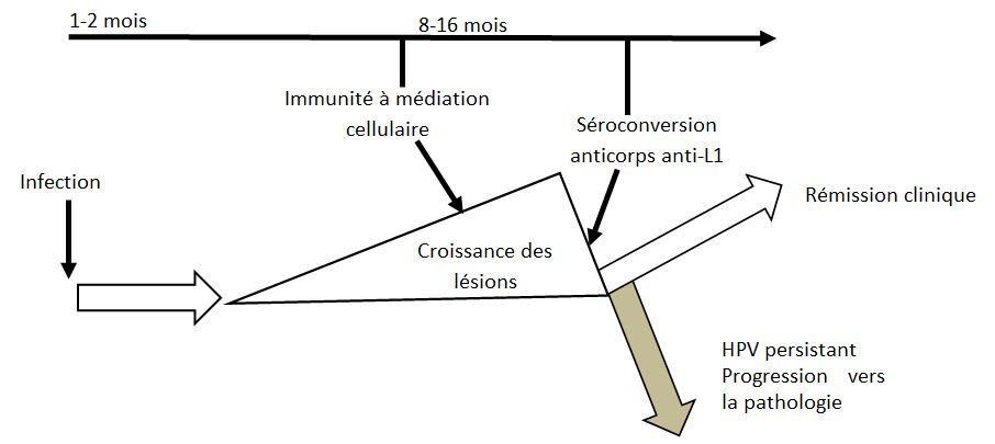 Devenir possible de l'infection à HPV.