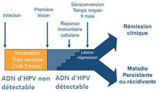 Rappel - déroulement de l'infection génitale à HPV.
