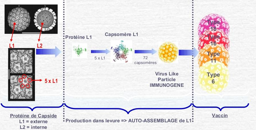 Production de VLP L1 chez la levure Saccharomyces pour le vaccin Gardasil®.