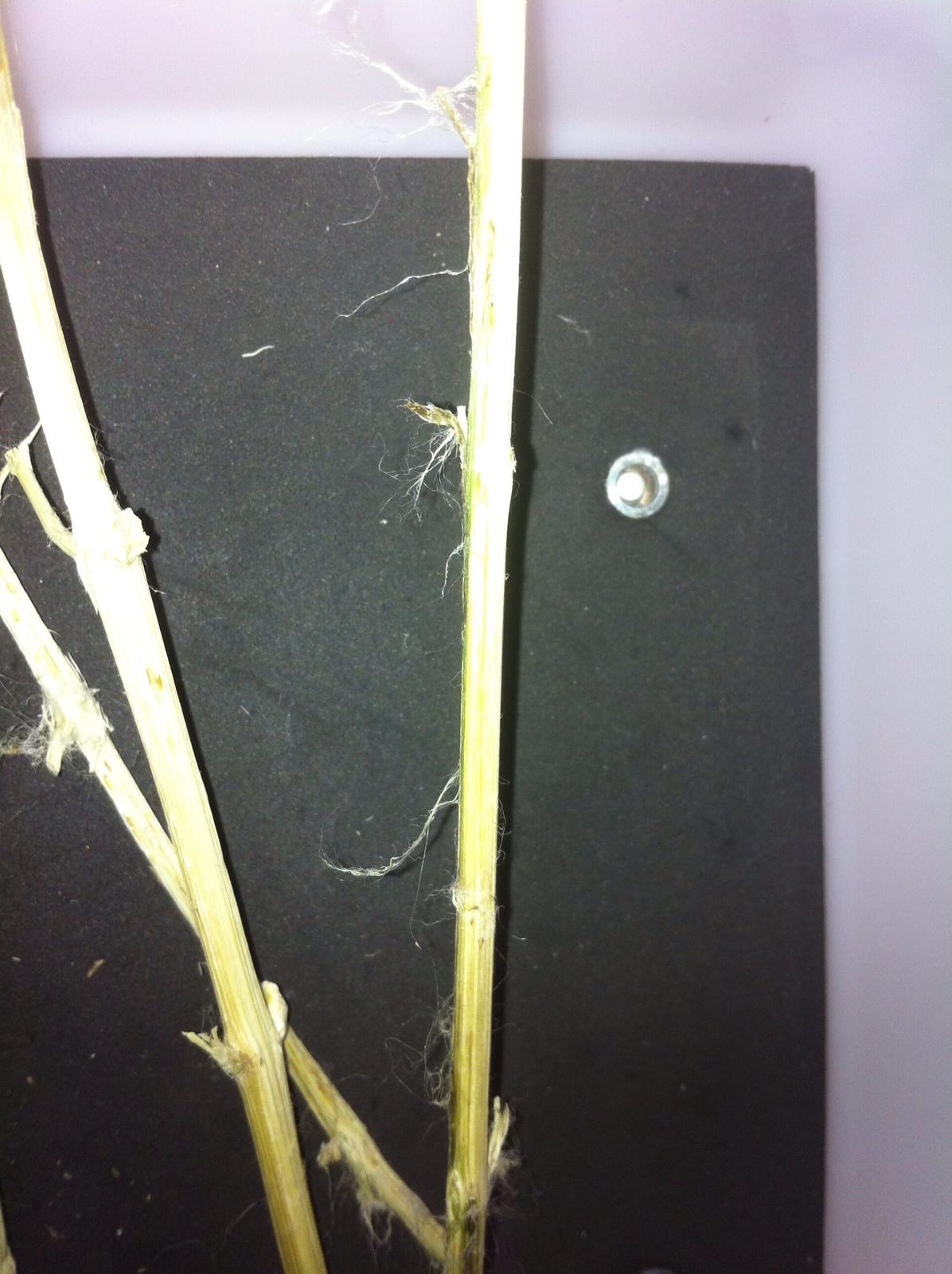 Fibres d'orties après rouissage