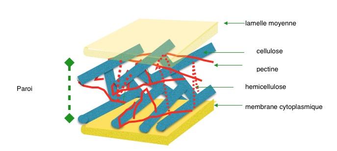 cellulose et pectine dans la paroi primaire