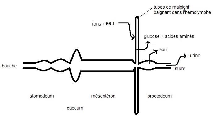 Relations entre hémolymphe et tubes de Malpighi