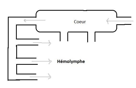 Appareil circulatoire ouvert des Insectes