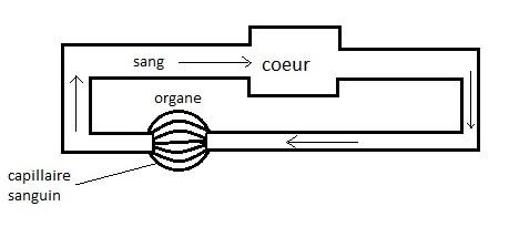 Appareil circulatoire clos des Vertébrés