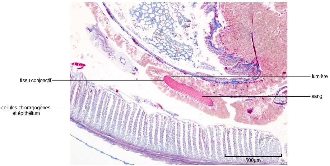 Vaisseau sanguin latéral du Lombric en coupe transversale (Collection de l'ENS de Lyon)