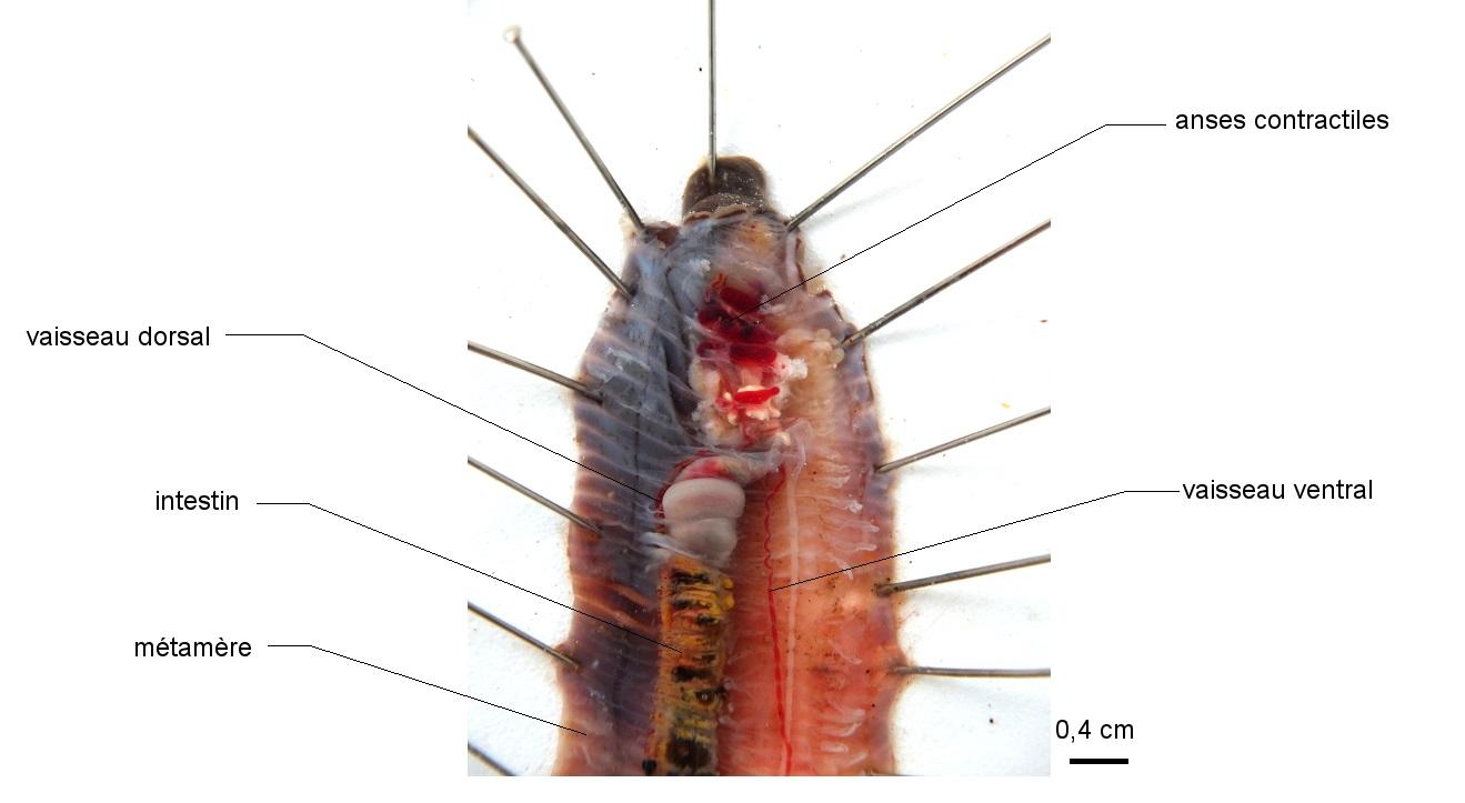 Anatomie du Lombric en vue dorsale