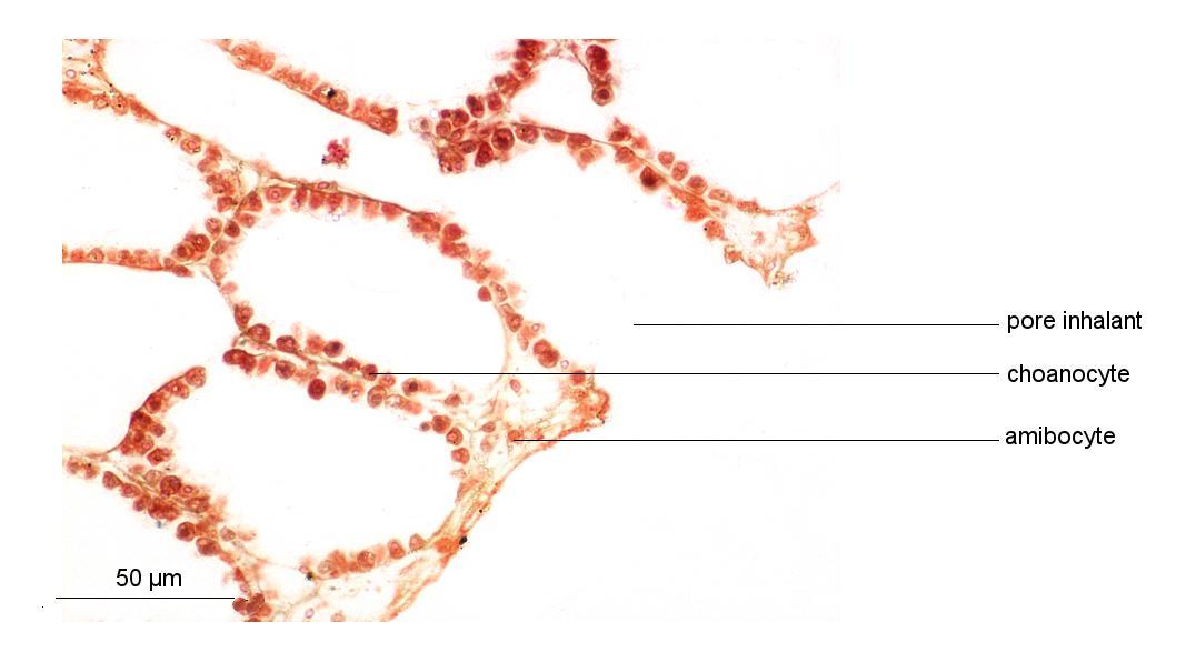 Corbeille vibratile et choanocytes de Sycon (Collection de l'ENS de Lyon)