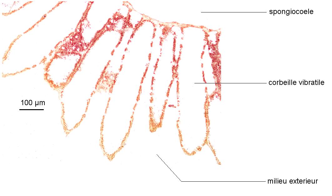 Corbeilles vibratiles de la paroi de Sycon (Collection de l'ENS de Lyon)