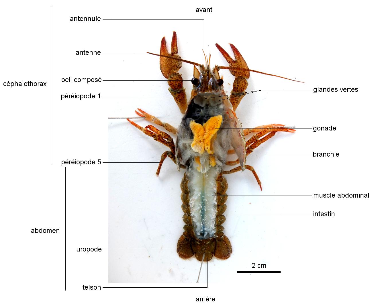 Anatomie de l'Écrevisse en vue dorsale