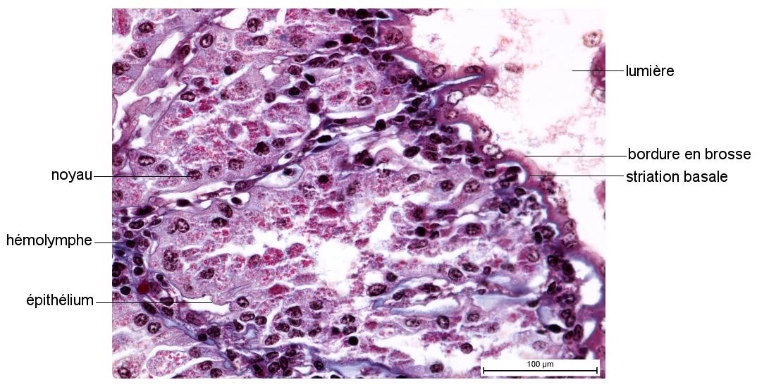 Saccule de glande verte d'Écrevisse en coupe longitudinale (Collection de l'ENS de Lyon)